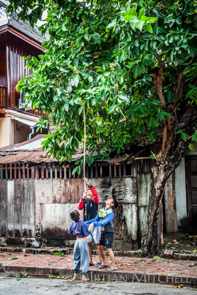 Kids prod a tree with a long bamboo pole waiting for its fruit to drop, Luang Prabang