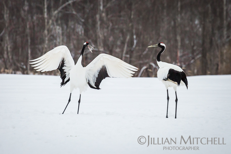 The incredible Red Crowned Crane in Hokkaido, Japan dancing in the snow.