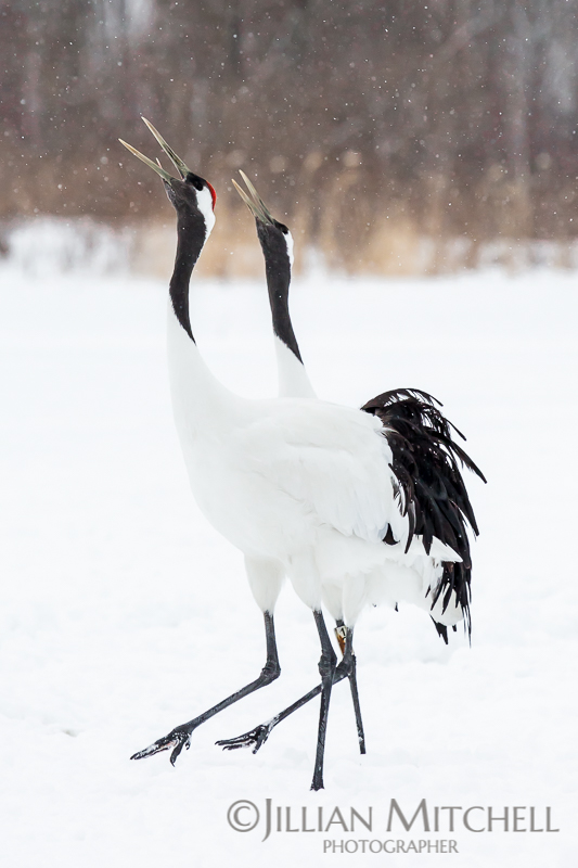 The incredible Red Crowned Crane in Hokkaido, Japan moving in unison.