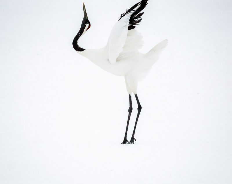 The incredible Red Crowned Crane in Hokkaido, Japan. fluffs the tail feathers in readiness to dance.