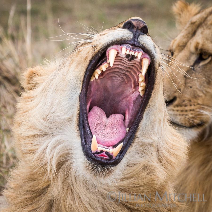 Open wide - Lion in the Masia Mara, Kenya.