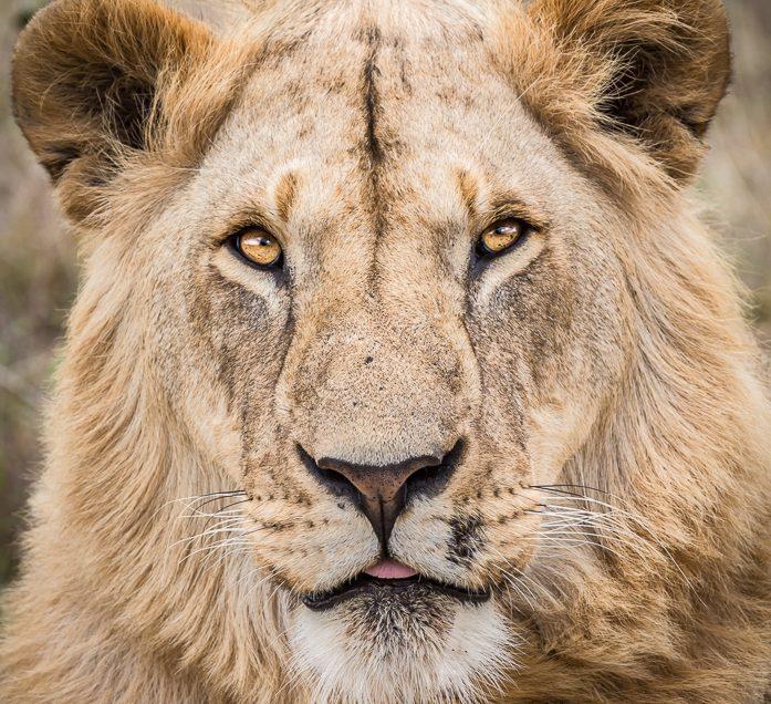 Lion in the Masai Mara, Kenya.
