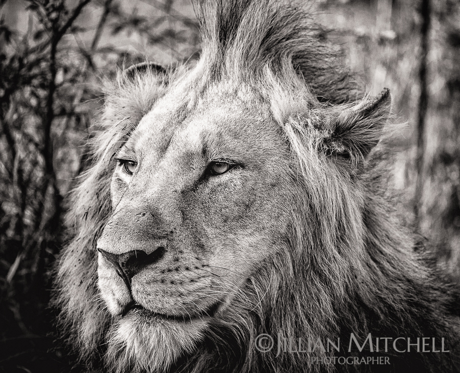 King of the jungle - male lion in all his splendor near Kruger National Park, South Africa.