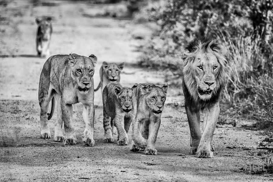 Lion family on the move near Kruger National Park, South Africa.